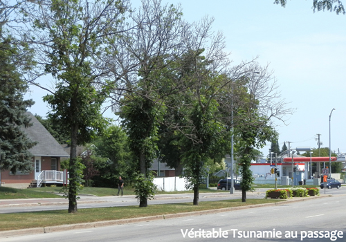 Emerald ash borer management and epidemics of urban trees